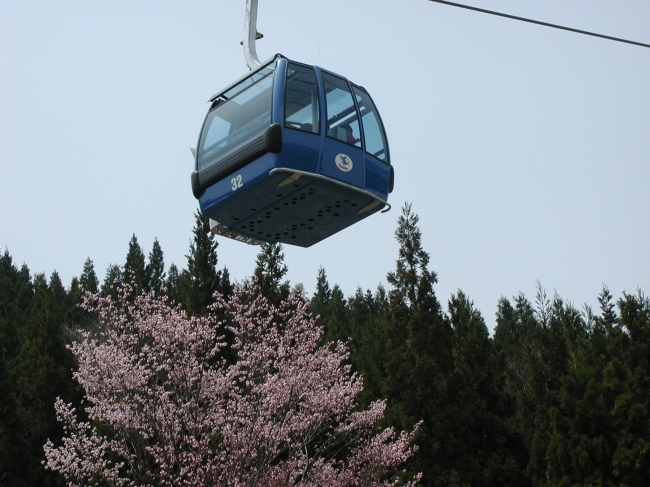 雪融けの状況によっては桜との饗宴も