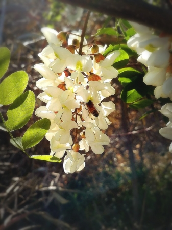 「アカシアの花」
