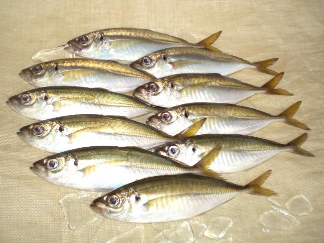 一本釣りの希少アジ「ぬしま鯵」