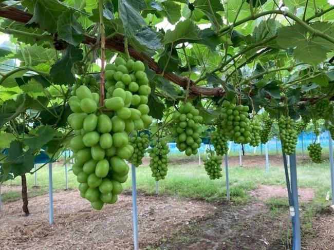 皮ごと食べられて種なしの食べやすさと、口に含んだときにマスカット系の心地よい香りがある、まさに葡萄の王様