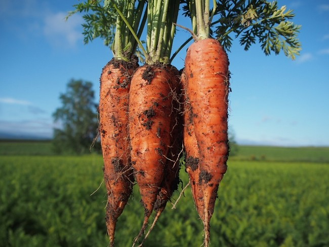 収穫そのままでお届け!土つきの有機栽培の人参