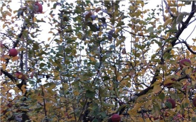 盗難後のりんごの木