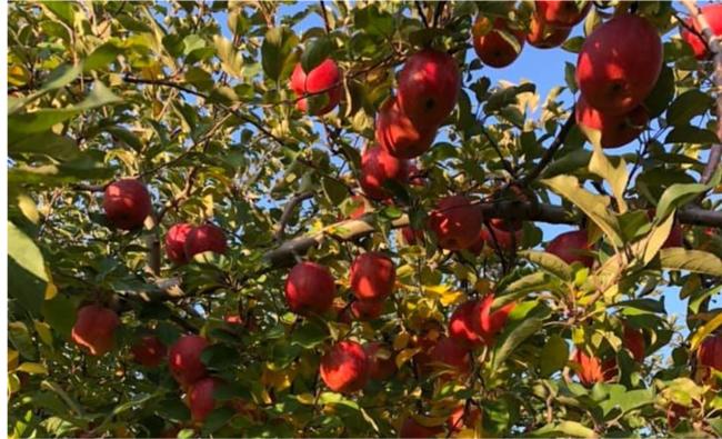 盗難前のりんごの木