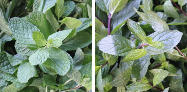 スペアミント(左)とペパーミント(右)