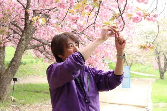 桜を収穫するサンクトガーレン代表の岩本