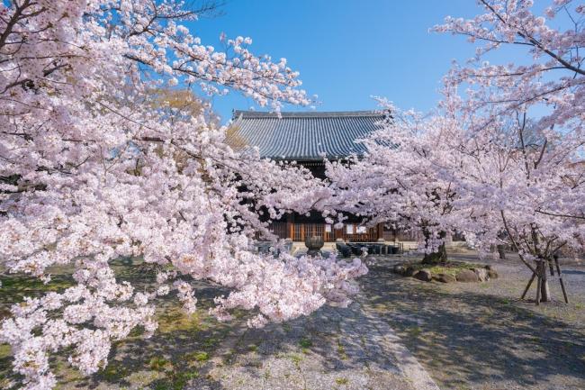 立本寺は桜の名所でもあります