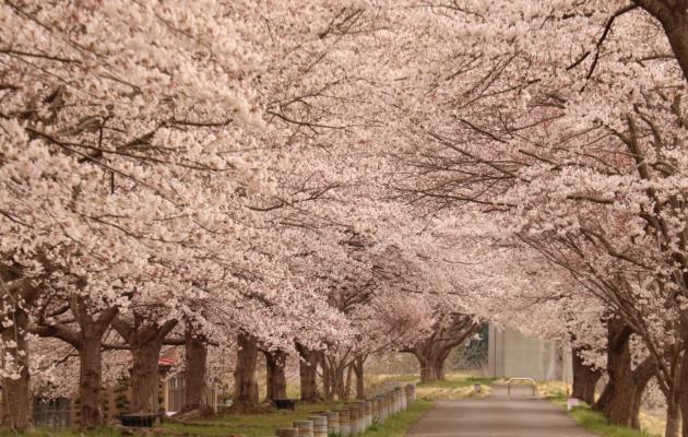 [宮城県柴田町]桜のトンネル(東船迫)