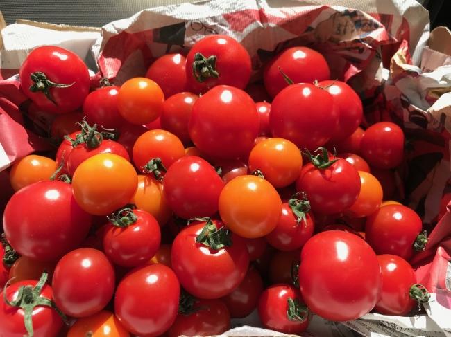 ▲株式会社ビレッジファーム 高糖度ミニトマト