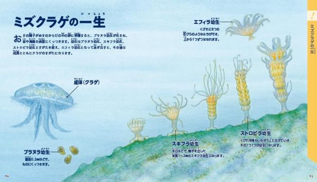 ▲コラムではイラストと写真で生き物の生態を紹介。クラゲがこんなに変身するってご存知でしたか?