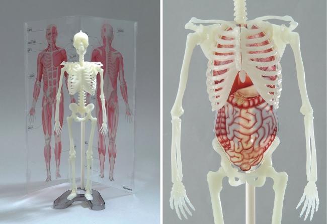 左:骨格模型と同じ縮尺の筋肉パネル、右:骨格模型にぴったり収まる内臓フィルム