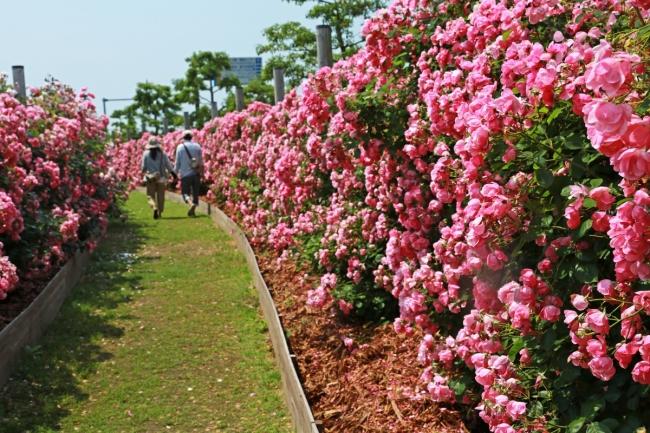 つるバラの壁(写真は春開催時)