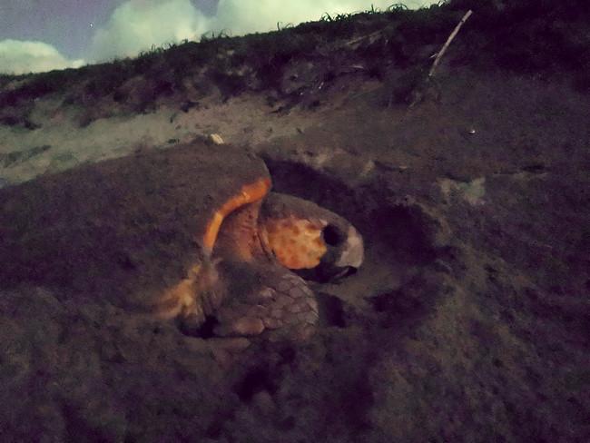 産卵のための穴を掘るアカウミガメ