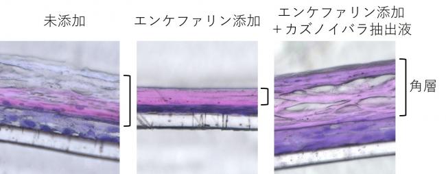 表皮三次元モデルに、エンケファリン、カズノイバラ抽出液を添加した際の角層厚