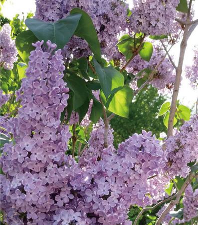 ライラックの花。札幌の木として指定されている。