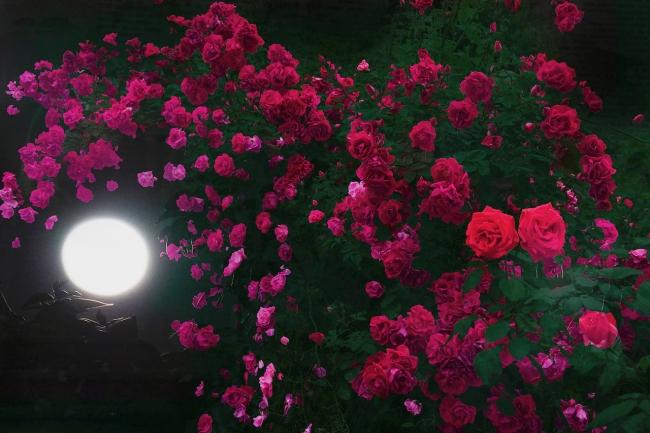 HIROMI ASAI 2018春夏メンスコレクション - 真夏の夜の薔薇