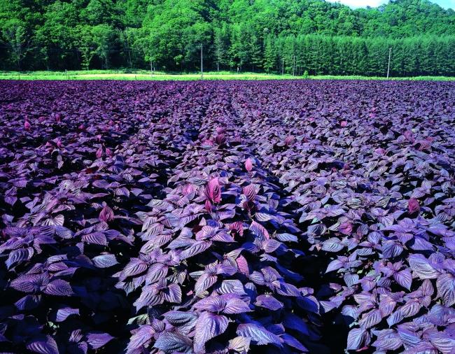 北海道白糠町の赤シソ畑