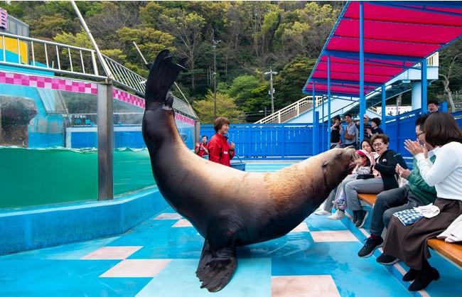 夫婦トドタイム」は日本で唯一、オスのトドが飼育舎から柵の無い広場に出て、特技を披露するイベント