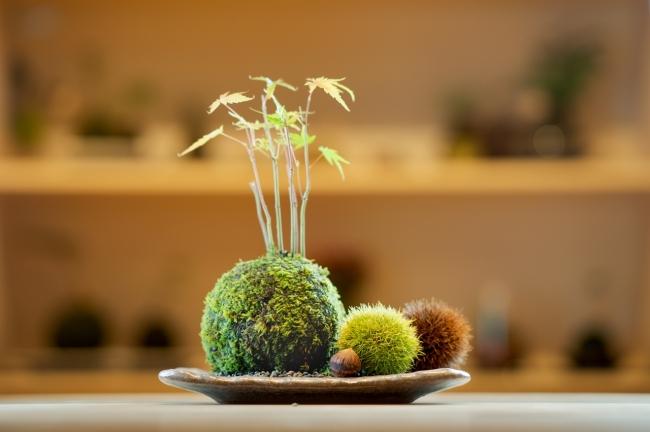 カフェでは現在、伊勢の秋をテーマにした作品や、様々な癒やしの苔玉が展示されています。