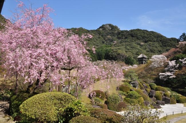 日本庭園慧洲園の桜
