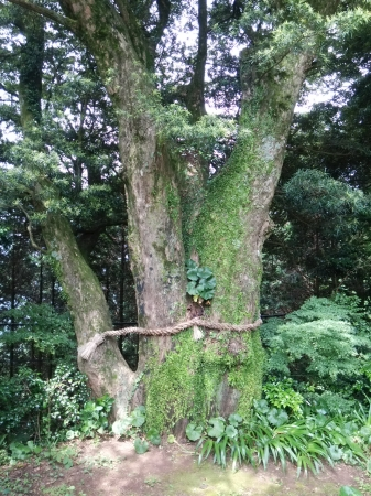 樹齢500年以上のイヌマキの木