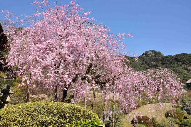 日本庭園慧洲園 枝垂れ桜