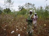 インドのオーガニックコットン畑と農家の女性
