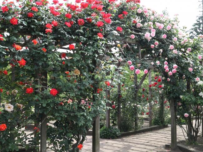 5月中旬のローズガーデンの様子。160種310本のバラが一斉に開花します。