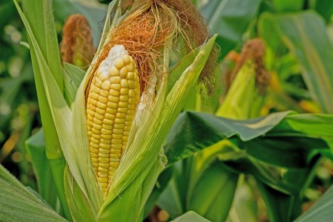 5月の野菜セットの一品・ゴールドラッシュ。新富町で30年以上の農家が手掛け、上質な甘みと粒皮の柔らかさで人気が高い。