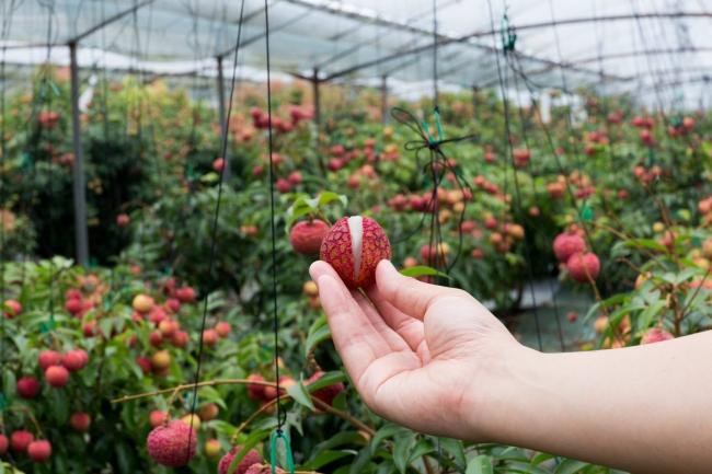 [画像] 新富町で栽培されている貴重な「楊貴妃ライチ」