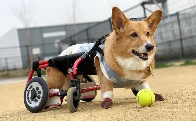 """▲コーギーの""""ミュウモ""""ちゃん、現在13歳。DMによる後肢麻痺のため、車いすで闘病中。 「DMなんて切ない病気は世の中から無くしたいし、無くせる病気だと思う(飼い主のAさんより)」"""