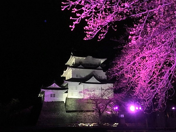 光に染まる夜桜