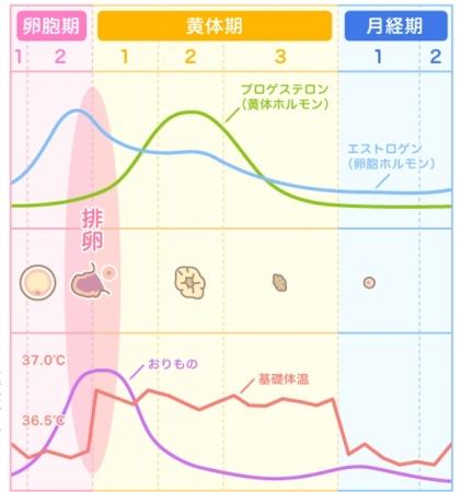 計算 排卵日予測