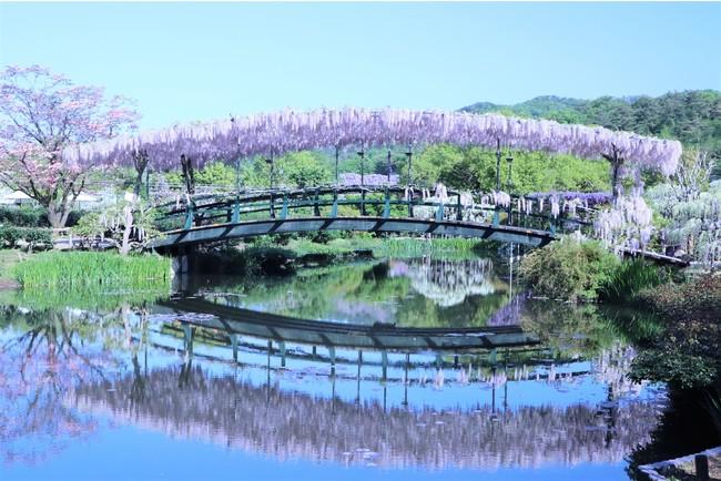 うす紅藤の橋2