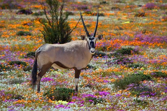 ここは神々の花園 「ナマクワランド」で 砂漠に咲く 奇跡を目撃する/南アフリカ