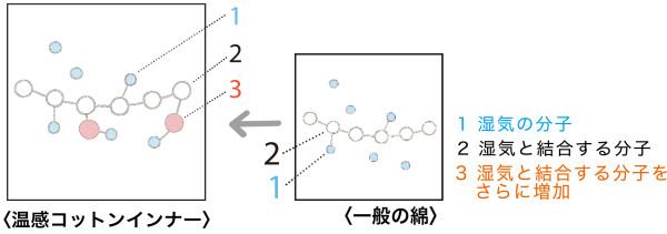 綿の吸湿発熱の仕組み。湿気の分子と結合する綿の分子を増やすことで発熱効果を高めています。
