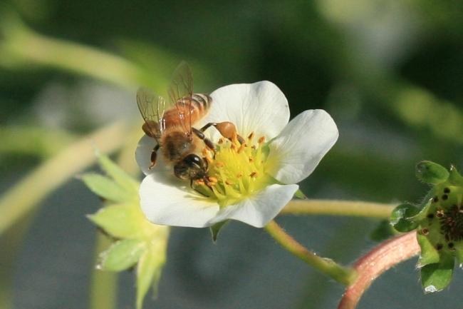 イチゴハウス内では、ミツバチが花にとまる様子を見ることができます