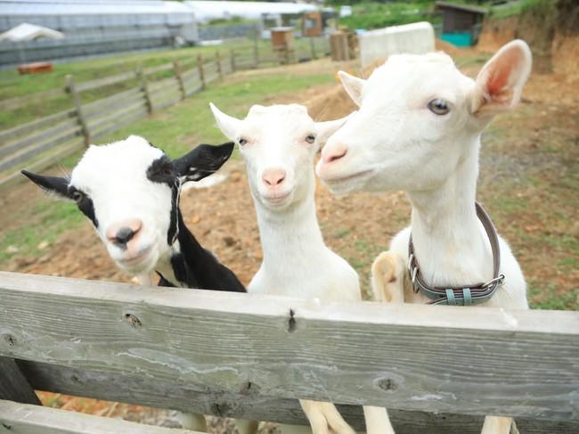 今年5月に仲間入りした3匹のかわいい子ヤギたちもお待ちしております!