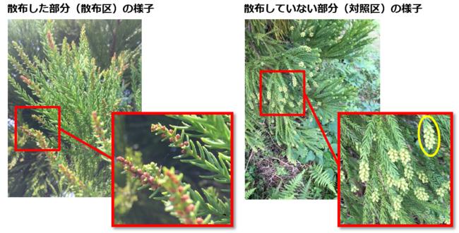 対照区(右)には密度の高い着花が見られたのに対し、散布区(左)には着花が見られませんでした