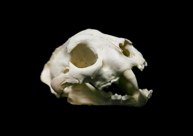 ピューマ頭骨