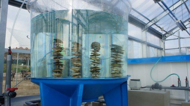 ウイルスフリー牡蠣を育成する陸上養殖