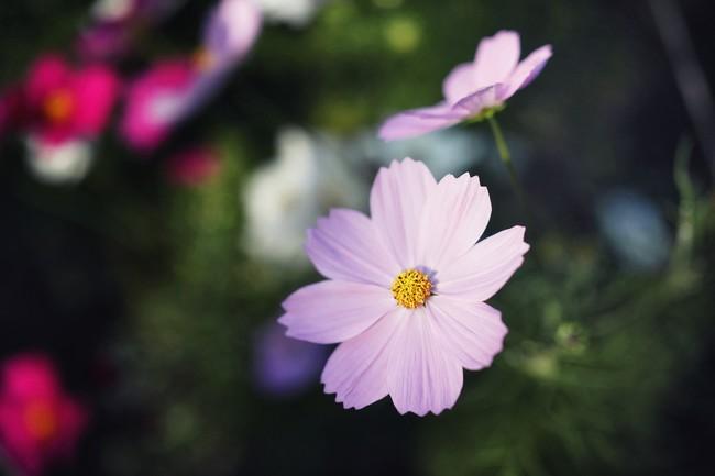 コスモスが咲き始めました