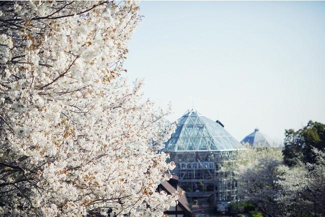 山桜 3月下旬-4月中旬