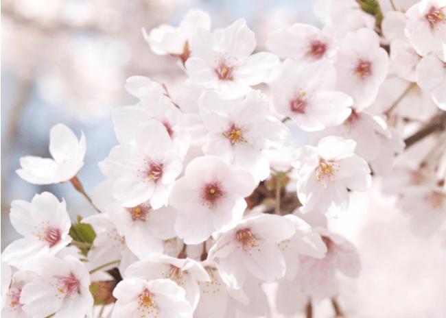 チェジュ島のサクラ 王桜