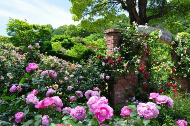 アカオハーブ&ローズガーデン(咲き誇るバラ)