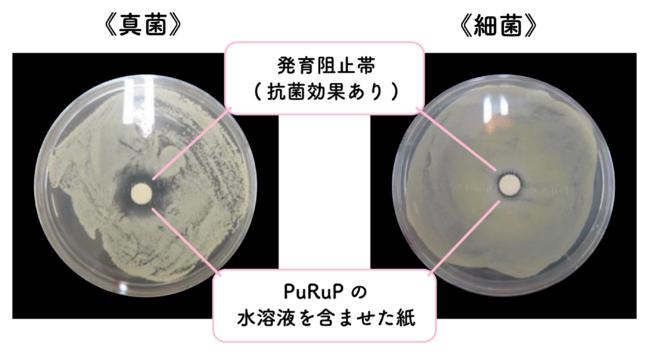 ※真菌・細菌を専用の容器の上に塗り、PuRuPの水溶液を含んだペーパーディスクをセットし、発育阻止帯(菌の発 育を認めない部分)の有無を確認