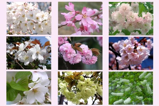 館内で見ることの様々な桜