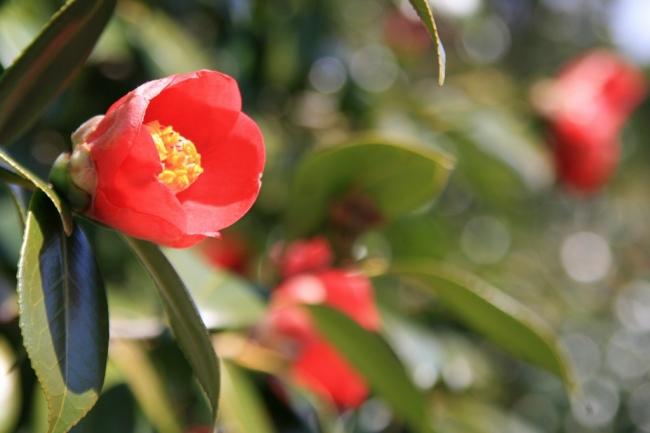 島に咲くヤブツバキ