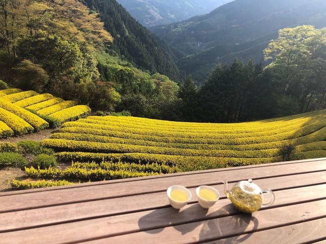 ここでしか見られない黄金色に輝く茶園
