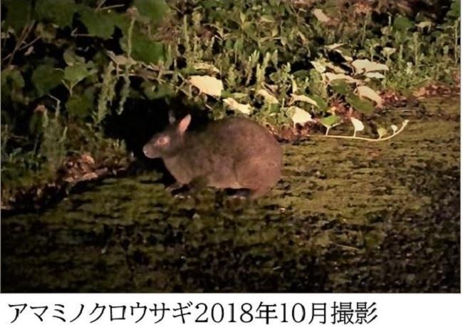 猫の捕獲なしでも激増して食害問題を起こしているアマミノクロウサギ