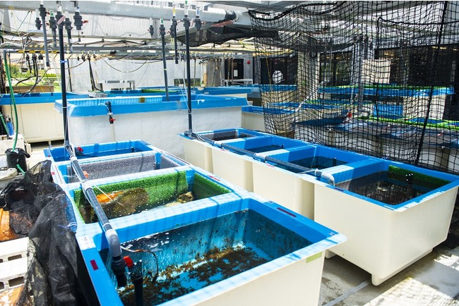 An aquarium for growing clark's anemones for this project at OIST Marine Science Station